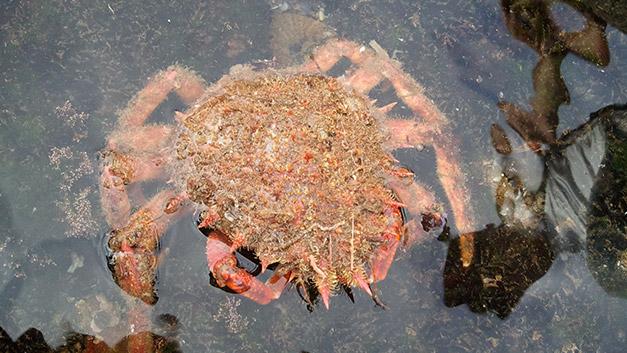 crabe araingnee
